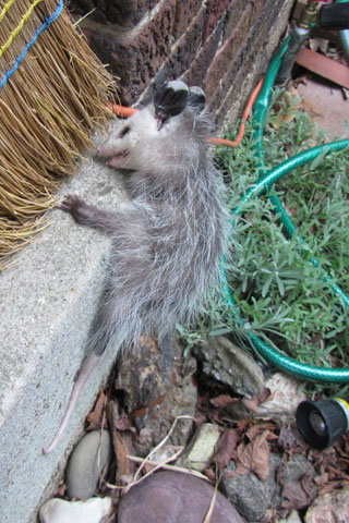 Baby Possum clinging to the porch