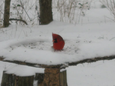 cardinal at Edwin Warner Park