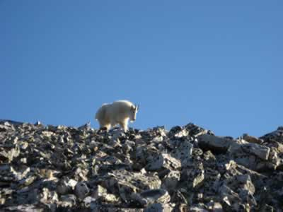 mountain goat on mount Quandry