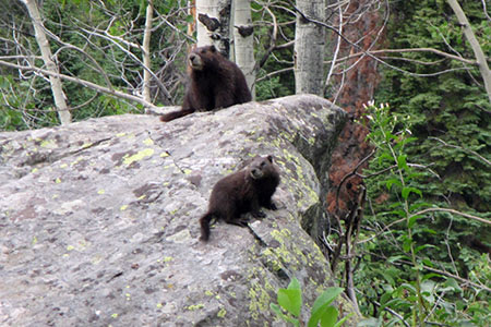 Youngster marmot sitting on a boulder below an adult.