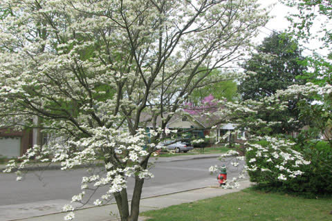 dogwood and redbud blossums