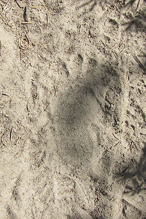 Bear cub print on the sandy path