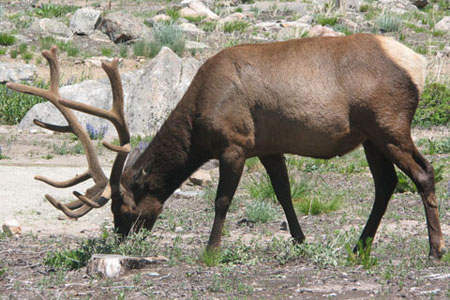 elk in the campground