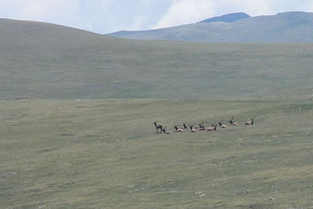 A herd of elk resting in a high mountain meadow