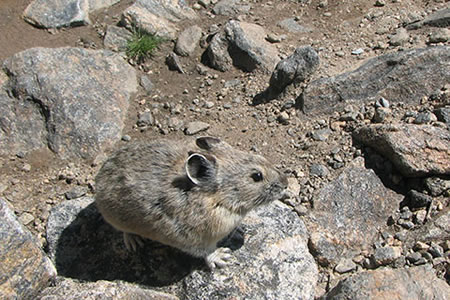 pika in the high mountains
