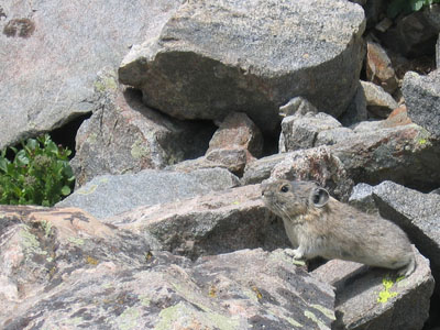 pika on Mount Huron