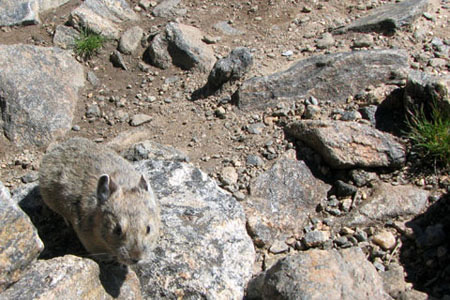 Pika on the summit of Halletts