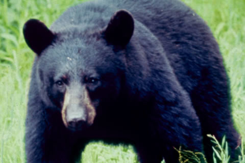 black bear, NPS photo