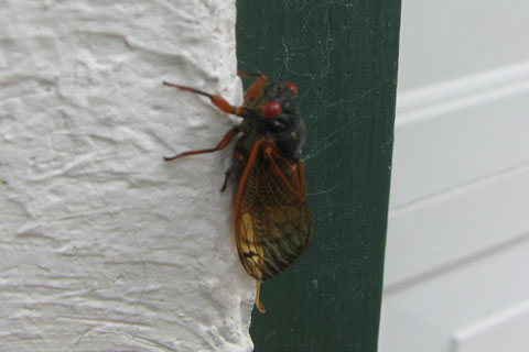 cicada on the garage