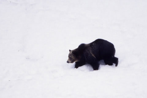 Grizzly in Snow (NPS Photo by