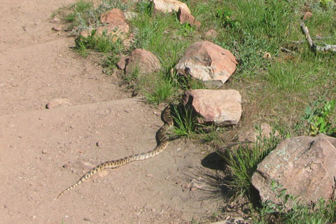 Snake on the trail